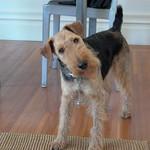 Quizzical welsh terrier