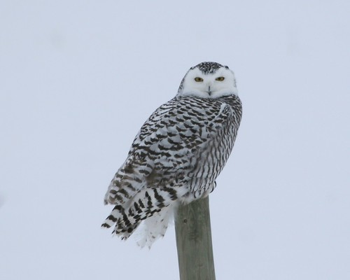 Snow Owl | by ru_24_real