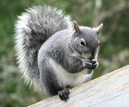 squirrel gray western sciurusgriseus