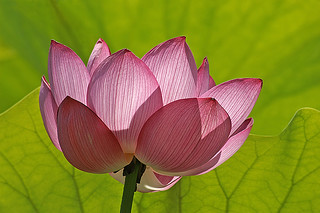 Lotus Flower Pink and Green | by rbgphoto