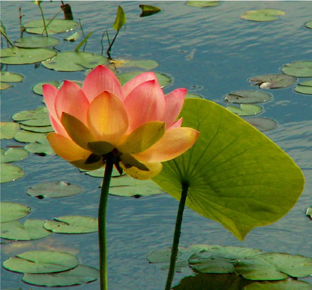 Lotus with Leaf