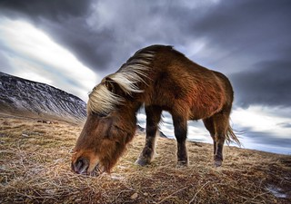 An Icelandic Horse in the Wild | by Trey Ratcliff