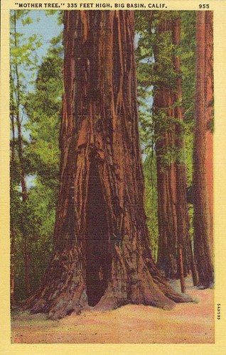 'Mother Tree,' 335 Feet High, Big Basin, Calif., From CreativeCommonsPhoto
