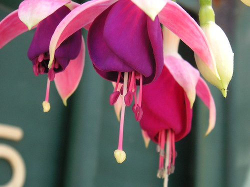 Fuscia | by blmurch