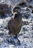 flightless cormorant Isabela Elizabeth Bay by putneymark