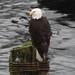 Ketchikan, AK: Eagle in Harbor