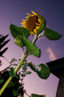 Wild Sunflower | by Bill Selak