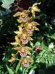 DSC02009 Orchidee