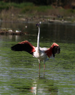 2010-06-17 LN - Flamingo (Pheonicopterus roseus) 07 | by Oretani Wildlife (Mike Grimes)