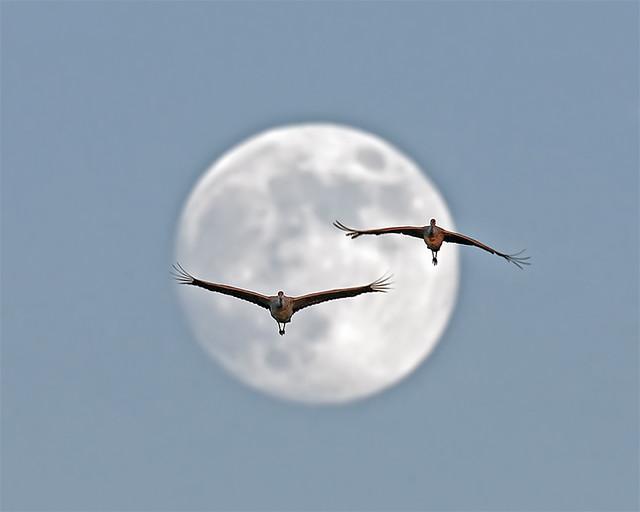 Sandhill Crane and Full Moon by Dan Kaiser