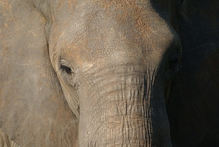 Elephant close-up | by niclasphotos