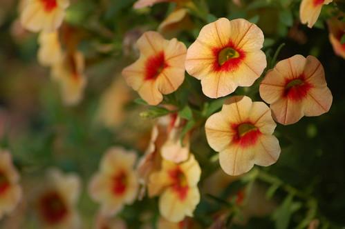 Mini Petunias   by DC_Jeff