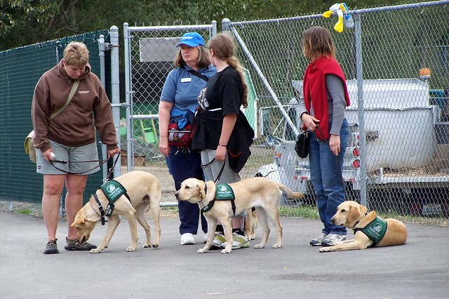 Guide Dogs for the Blind in training