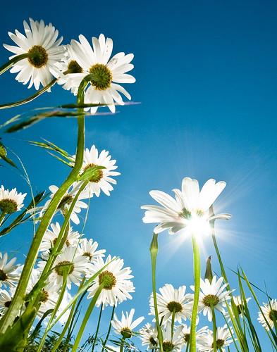 flower sunshine flare daisy fgr fgr20