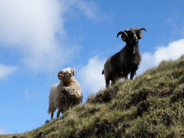 Faroese Rams in Hvannhagi - Veðrar í Hvannhaga