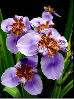 Iris - Flickr