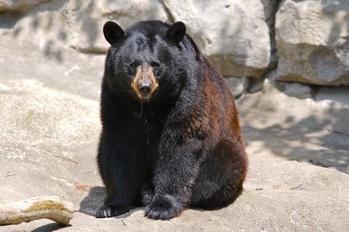 Black Bear #7
