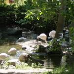 Chilean Flamingos  @ Roger Williams Park Zoo