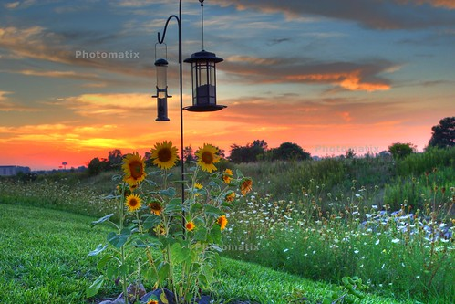 sunset matt sunflowers hdr birdfeeders stum photomatix mattstum