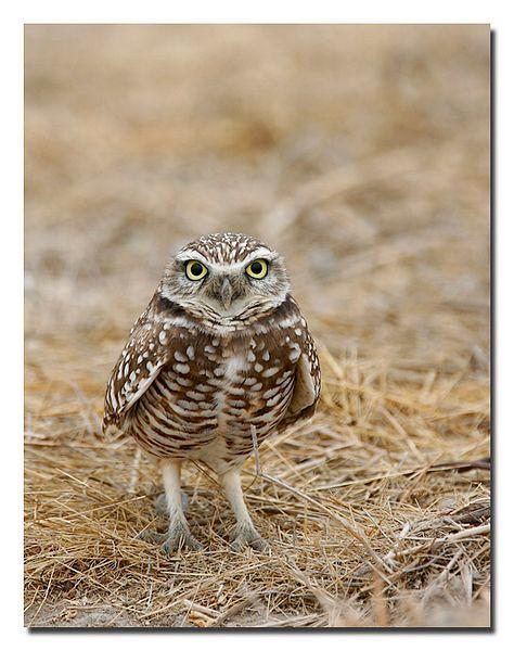 _j0l3259 burrowing owl standing8_std