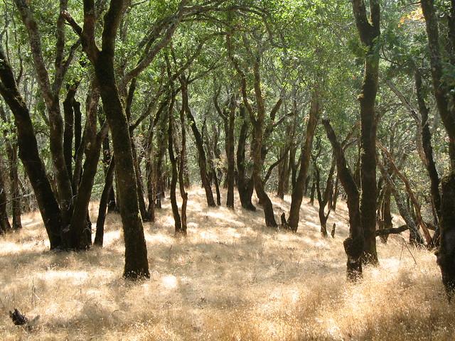 Oak Woodland, Windsor, CA