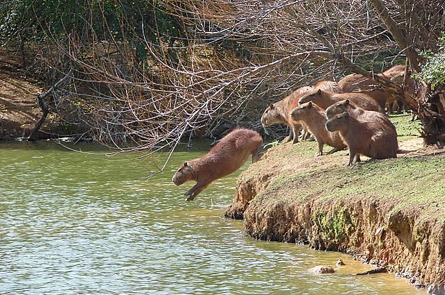 O salto da capivara / Capybara jumping