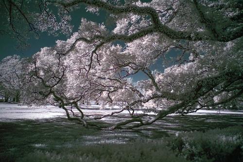 tree photoshop oak neworleans nikond100 liveoak plantation infrared digitalinfrared hoyar72 photoshopaction
