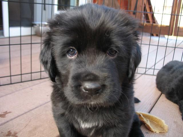 Tibetan Mastiff Puppies | brentolson | Flickr