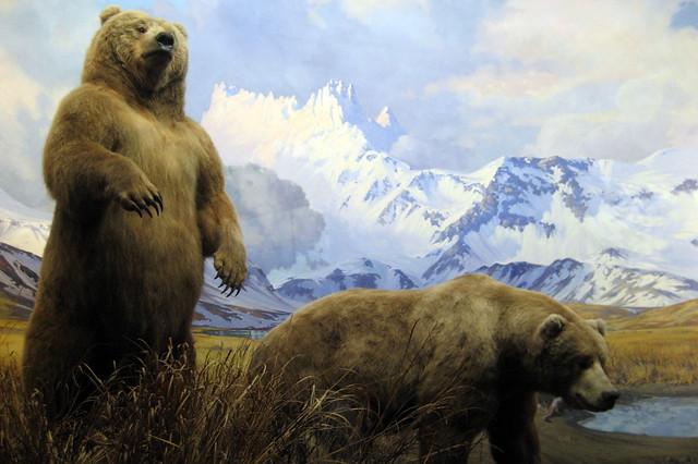 NYC - AMNH: Hall of North American Mammals - Alaska Brown Bear