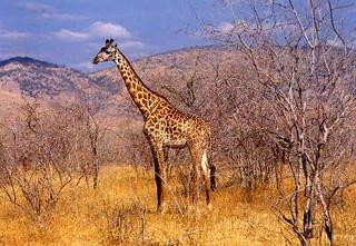 Giraffe | by NH53