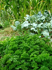 The Parsley is great this year | by hardworkinghippy : La Ferme de Sourrou
