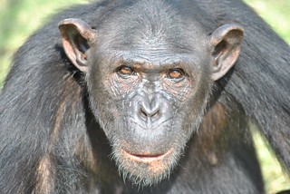 Chimp Eden Sanctuary - Suzie | by AfrikaForce