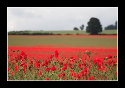 red england field canon landscape eos sigma surrey poppies 5d clandon impressedbeauty flickrelite