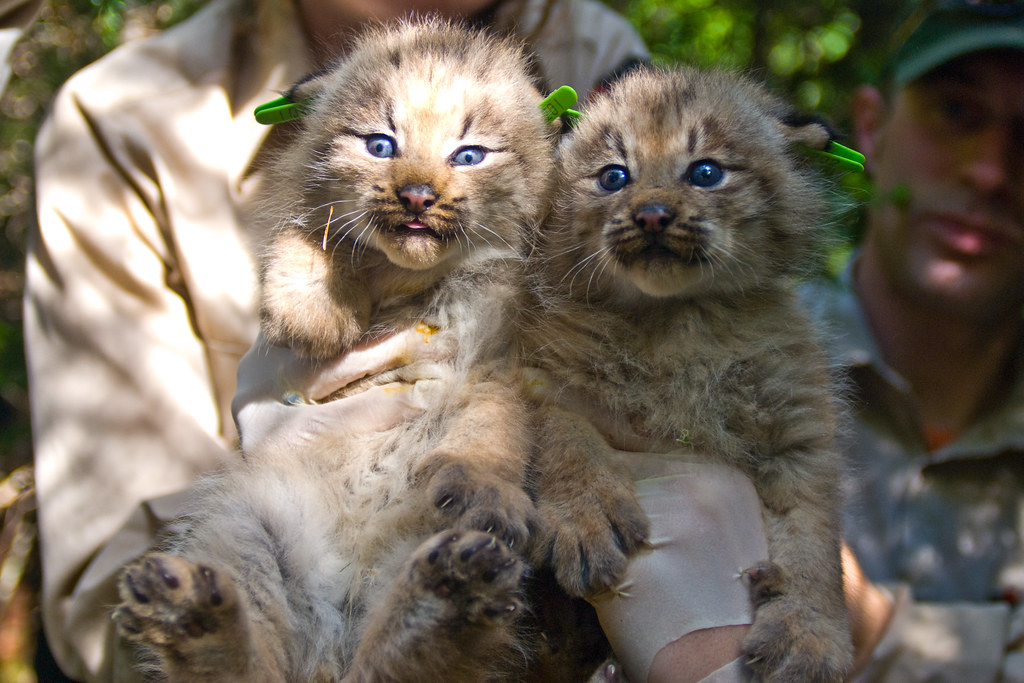 Two Canada Lynx Kittens