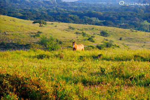 ranch horse pet brown white black tree green beautiful animal sanantonio sunrise fence nose haze wire oak nikon pretty texas outdoor farm tx smoke nb hills dirt blonde zook stable barbed nosey boerne d80 nikond80