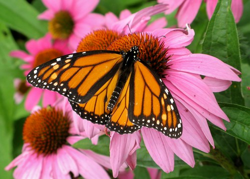 Monarch on echinacea | by Randy OHC