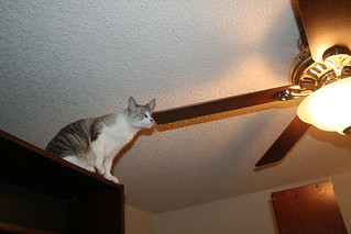 Mac The Flying Cat He Never Made It Onto The Ceiling Fan