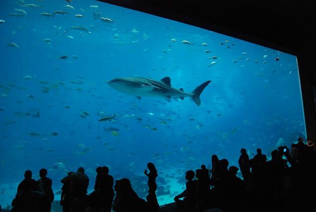 Georgia Aquarium - Watching the Whale Shark