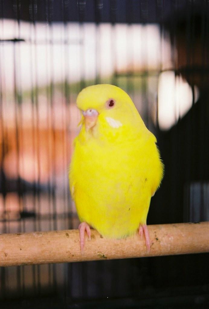 Lutino Parakeet