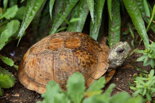 box turtle myrtle terrapene