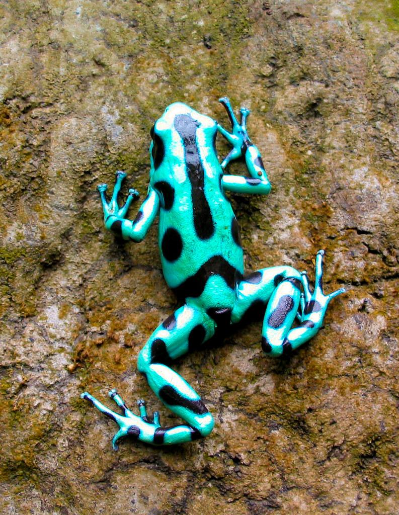 Green Poison Arrow Frog [Dendrobates Auratus]