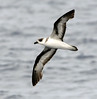 Black-capped Petrel by cotinis