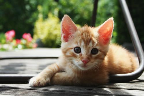 red kitten 01 | by mathias-erhart