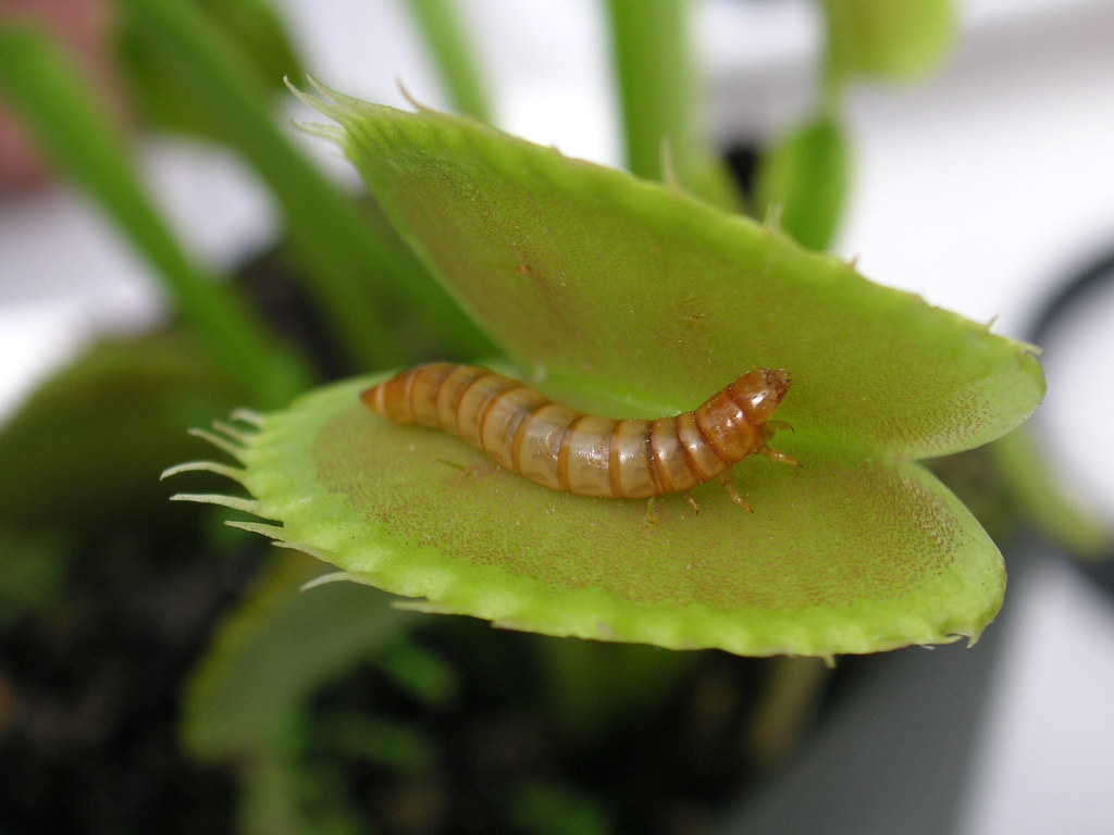 Meal worm in venus fly trap | Blog Post | Beatrice Murch | Flickr