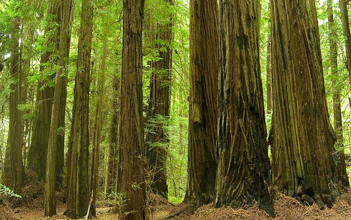 Redwood | by pellaea