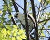 Sulawesi Hawk Eagle (Spizaetus lanceolatus) Juvenile in a playful mood - peek-a-boo by Lip Kee