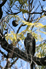 Sparrowhawk by AdaMacey