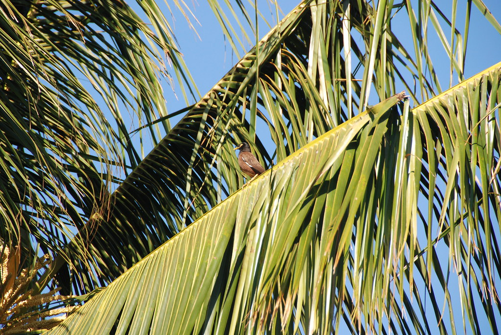 DSC_0002 | Common Myna bird in Hawaii / Maui as seen from ... - photo#33
