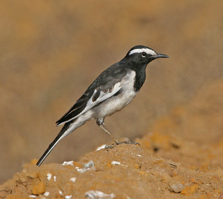 White-browed Wagtail,  Motacilla maderaspatensis, | by Graham Ekins