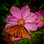 Queen Butterfly..first flight!